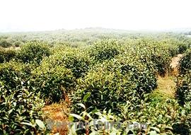 Tea garden, Hangzhou, Zhejiang